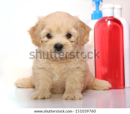 Poodle Puppy preparing to bathing on white background - stock photo