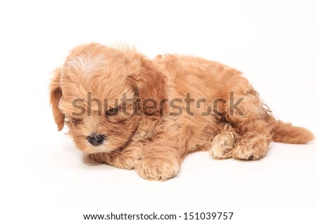 Poodle Puppy sleepy on white background