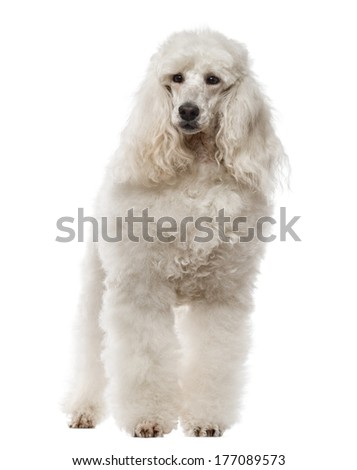 Poodle standing, 1 year old, isolated on white