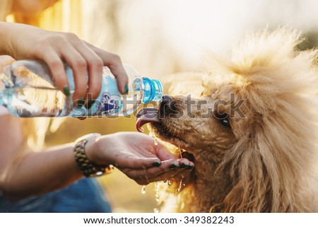Poodle watered with water from a bottle
