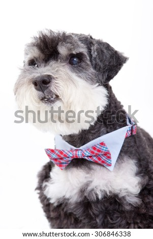 poodle with red tie,act art dog , drees up dog,terrier dog with collar - stock photo