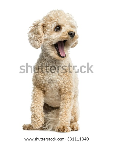 Poodle yawning in front of a white background
