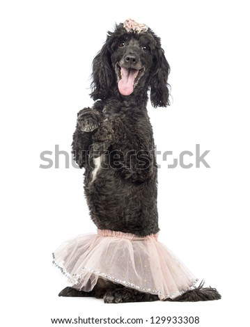Poodle, 5 years old, standing on hind legs, wearing a pink tutu and panting in front of white background - stock photo
