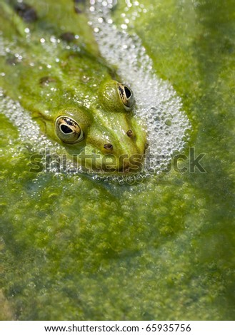 Pool Frog (Rana lessonae)