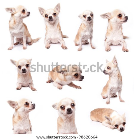 Poor brown hair chihuahua in many actions - stock photo