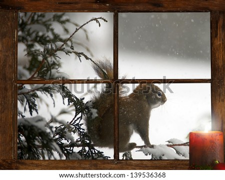 Poor little squirrel perched on a cedar hedge during a snowstorm, looking into  a small farmhouse window at a lit candle sitting  on the windowsill at Christmas time. - stock photo
