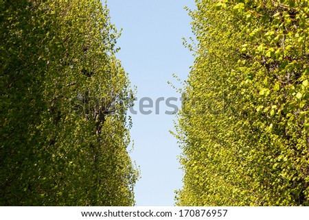 Poplar alley in spring with fresh green leaves.