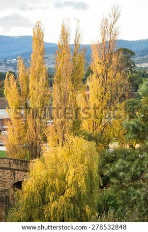 Poplar and Willow trees in Autumn colours, Richmond, Tasmani - stock photo