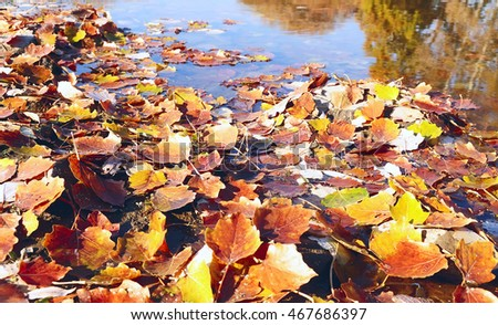 poplar autumn colorful fallen leaves in the water of the lake. Beautiful autumn natural background. Sunny warm day.