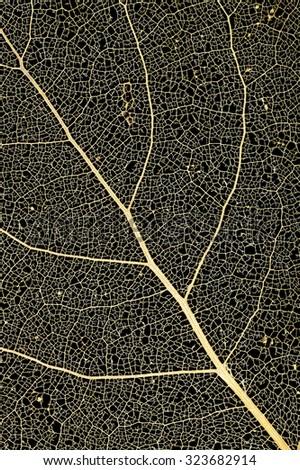 Poplar leaf skeleton - stock photo