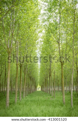 poplar trees plain forest trees cultivation for paper pulp Italy