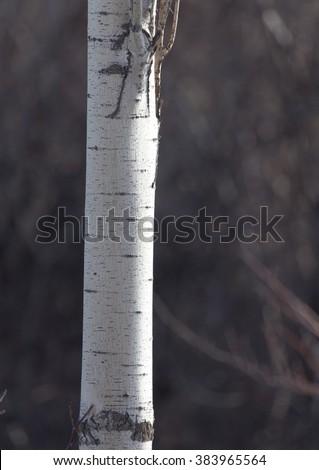 poplar trunk in winter outdoors - stock photo