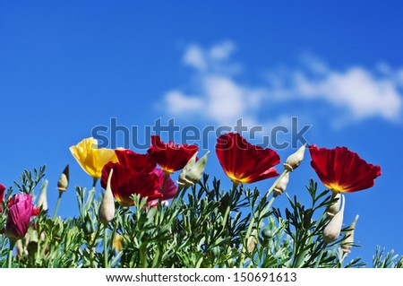 Poppies against a blue sky