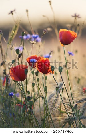 Poppies and cornflowers in wheat field against the sun - stock photo