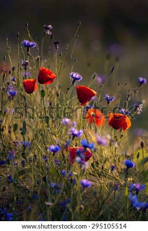 Poppies and cornflowers in wheat field against the tvening sun - stock photo