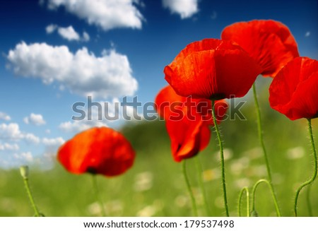 poppies blooming in the wild meadow - stock photo
