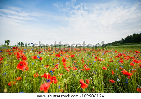 poppies blooming in the wild meadow. Beautiful landscape of Poland - stock photo