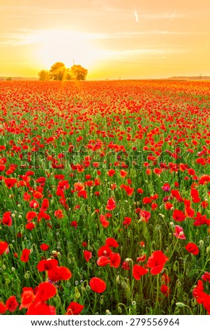 Poppies field at sunset in summer in Hungary - stock photo