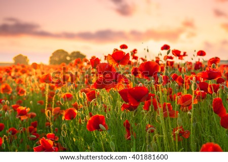 Poppies field meadow in summer in Hungary