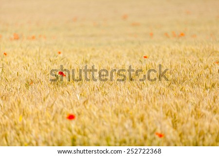 poppies in a field of wheat - stock photo
