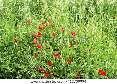 Poppies in a green meadow - stock photo