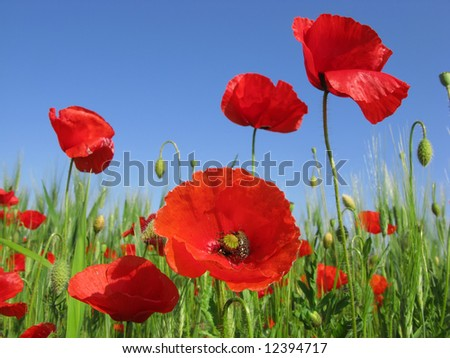 poppies in a green wheat field