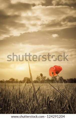 Poppies in a wheat field. Composition of nature - stock photo
