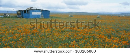Poppies in Antelope Valley, California - stock photo
