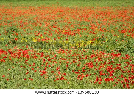 Poppies in Provence