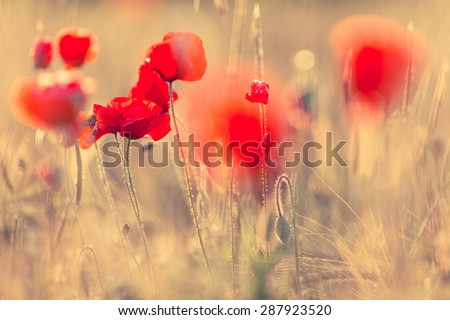 Poppies in summer nature field with bright golden light/summer background/spring background