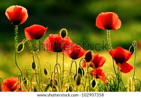 Poppies in sunset light - stock photo