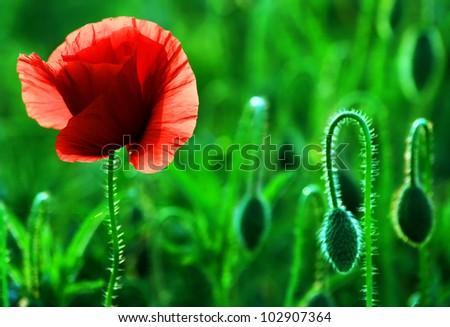 Poppies in sunset light - stock photo