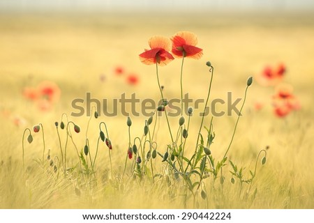 Poppies in the field at dawn. - stock photo