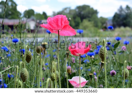 Poppies in Wildflower Field - stock photo