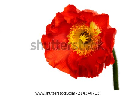 poppies Isolated on white background.