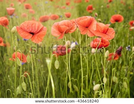 Poppies meadow ,Wildflowers poppies - stock photo