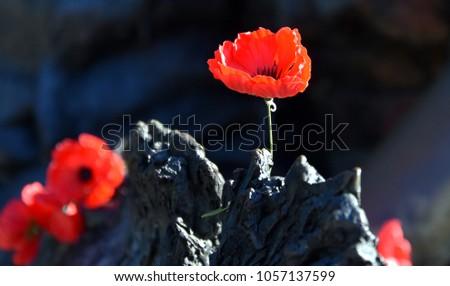 Poppies On Rock Australian War Memorial Stock Photo 1057137599