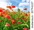 poppies on green field - stock photo