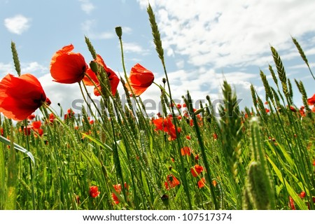 Poppies on the cereal field in a wind time. - stock photo