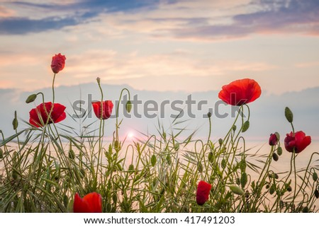 Poppies on the sea shore at sunrise