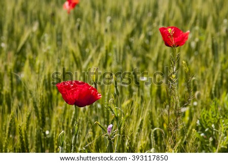 Poppies (Papaver rhoeas) in the wheat field - stock photo