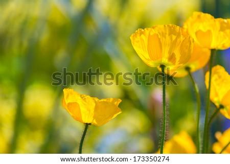 Poppies Poppy flowers in California san Francisco spring garden - stock photo