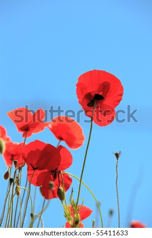 Poppies under blue sky - stock photo