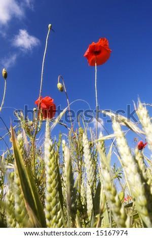 Poppies Upward View - stock photo