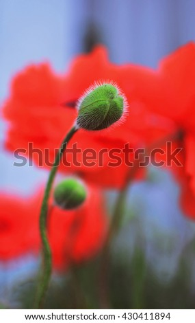 poppy bud, Field of wild poppies and other flowers - stock photo