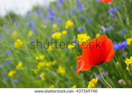 Poppy, cornflowers and rapeseed in the field. Blooming wildflowers. Red, blue and yellow flowers - stock photo