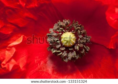 poppy detail - stock photo