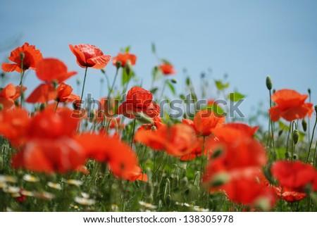 Poppy field and blue sky - stock photo