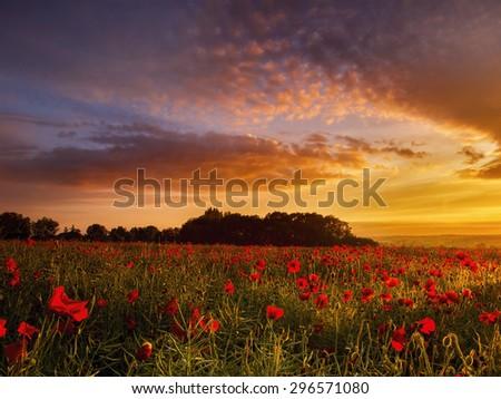 Poppy field at sunrise - stock photo