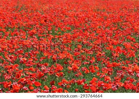 Poppy field background - stock photo